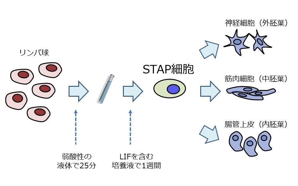 細胞 スタップ